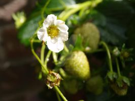 strawberry plant2 by kittykatty89
