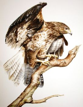 Buzzard by Atriedes