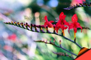 Crocosmia 2 by TheDevlyn