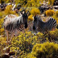 South African Zebras 2 by Deepsies