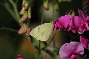 Butterfly 2 - Small Cabbage White by wuestenbrand