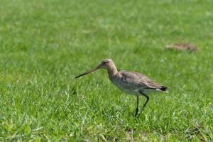 Black-tailed Godwit by Daan-NL