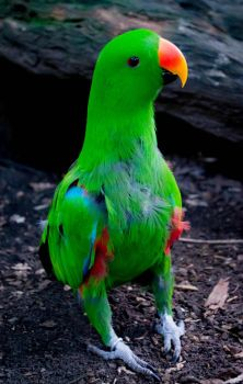 Eclectus Parrot by altermind