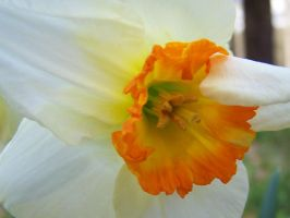 daffodil no4 by LilithsSmile