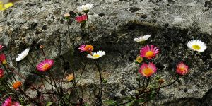 Stone Daisies by EarthHart
