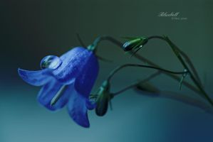 Bluebell by ninazdesign