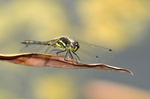 Dragonfly black and yellow by Lydiie