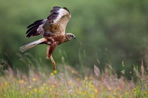 Western Marsh-harrier by BogdanBoev