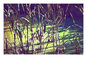 cattails by ChaelMontgomery