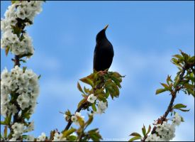 Magnificant Starling by Somebody-Somewhere
