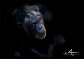 Chimpanzee by Stridsberg
