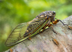 I like Cicadas I guess... by TheScratcher
