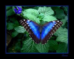 Blue Butterfly by FantomDroppings