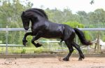 Friesian Stallion stock 8 by xxMysteryStockxx