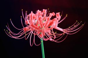 Red Spider Lilly Sideview by skimlines
