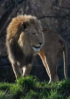 African Lion 1448 by robbobert