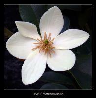 WHITE FLOWER by THOM-B-FOTO