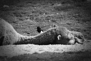Knocked out camel by ReneWarich