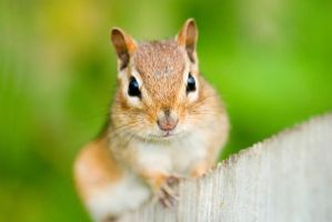 Eastern Chipmunk by Sonny2005