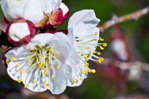 apricot blossoms 3 by ishouldplayzelda