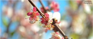 Blossoming by omergafla