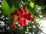 Guelder Rose by Deiz787