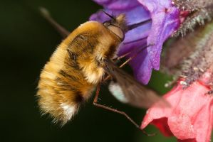 Bee Fly Feeding 2 by Alliec