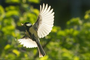 Backlit Tit by thrumyeye