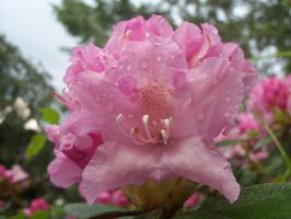 Pink flower by Mecarion