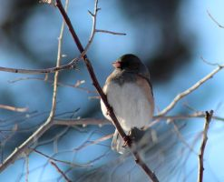 Dark-eyed Junco - 0229 by OpalWildPhotography
