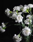 White Carnation Bouquet by bloomingvinedesign
