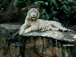 white Tiger by behroozR