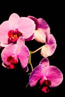 Pink Orchids 2 by Slolv