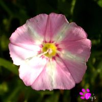 Field Bindweed 001 (12.07.13) by LacedShadowDiamond