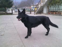 Black german shepherd by chiakka