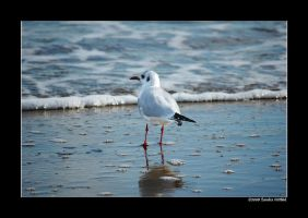 Black-headed Gull by grugster