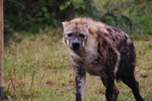 Spotted Hyena Adult by LeahPardoe