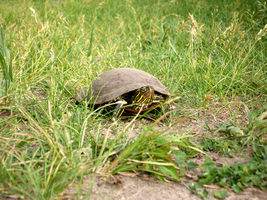 Painted Turtle by OrganBoy