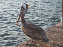 Pelican by Know-The-Ropes