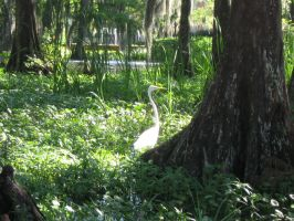 Great white heron 04 by CotyStock