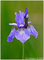 Iris by andy-j-s