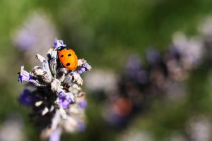 Coccinelle 1 by rZiT