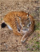 Sleepy lynx by Triumfa