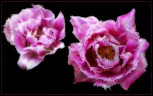 TWO PINK TULIPS by THOM-B-FOTO