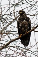 Young bald eagle by laufiend