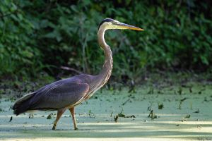 Patient Heron by mydigitalmind