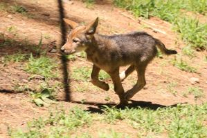 Red Wolf Stock 68: Wolf pup by HOTNStock