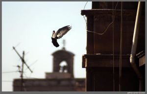 pigeon by gokhanproject