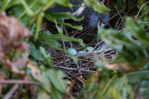 Tricolor heron eggs by CyclicalCore