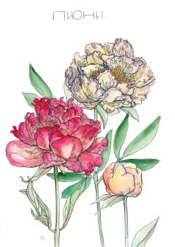 peonies by Advenadesign